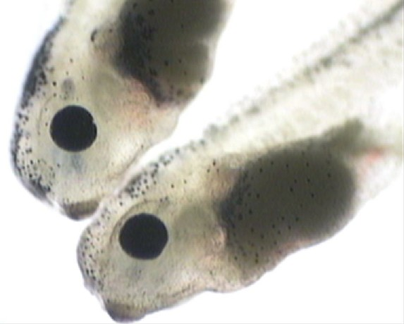 Living Xenopus embryos.  Fall 2000 Embryology lab.   A.E.Ross @ CBU
