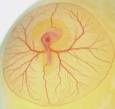 Unstained live chick embryo 7 Nov 2000 AERoss